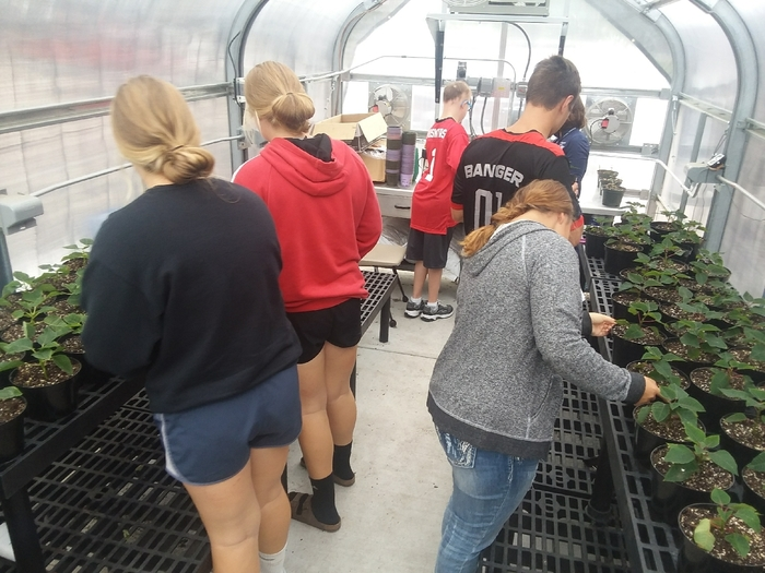 nursery landscape and Life Skills class pinching poinsettias.
